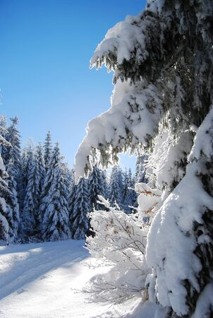 pines covered snow  Stock Photo