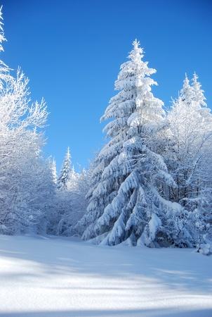 Kiefern bedeckt Schnee Standard-Bild - 9751855