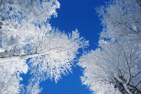 pines covered snow  Standard-Bild