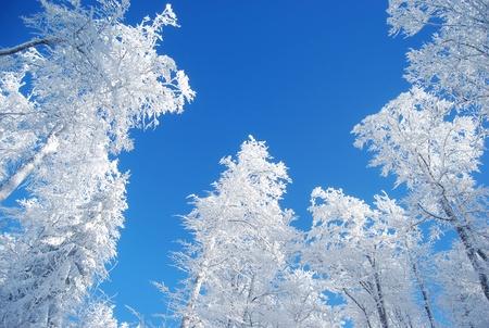 Kiefern bedeckt Schnee Standard-Bild - 9751862