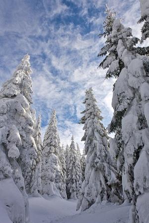 snowy pine forest