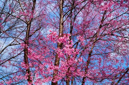 Prunus cerasoides at chiang mai Stock Photo