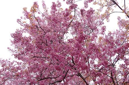 rosaceae: Wild Himalayan cherry tree Rosaceae flower