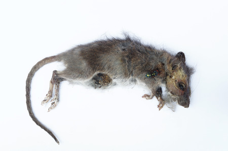 dead rat: Rotten dead rat had eaten by flies, Fly breeding and propagation on it. Stock Photo