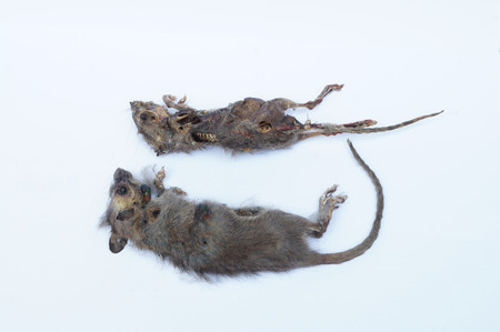 dead rat: Rotten dead rat had eaten by flies
