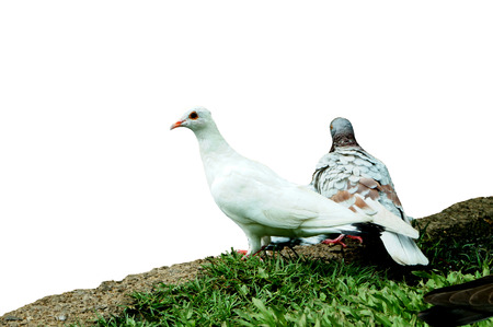doublet: two pigeon Stock Photo
