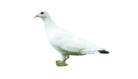 doublet: white pigeon on white background