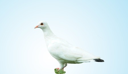 doublet: white pigeon on blue background