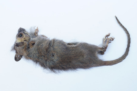 dead rat: Rotten dead rat had eaten by flies, Fly breeding and propagation on it. Stock Photo