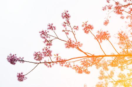 Pink Sakura flower blooming.