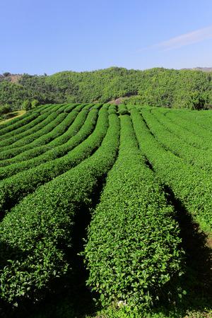 Beautiful fresh green tea plantation at chiang rai, Thailand