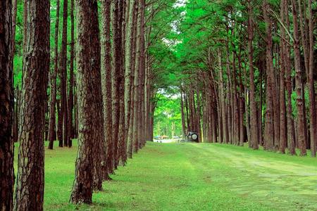 pine forest, Suan son bor Kaew at Chiang Mai THAILAND, Unseen Thailand.
