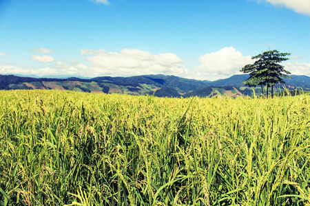 Green Rice Field with Mountains Background under Blue Sky, Chiang Rai, Thailand Stock Photo