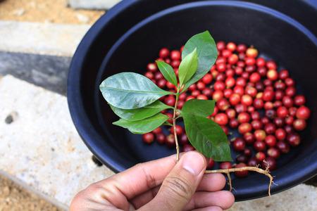 planta de cafe: Manos tomar la planta de caf� verde