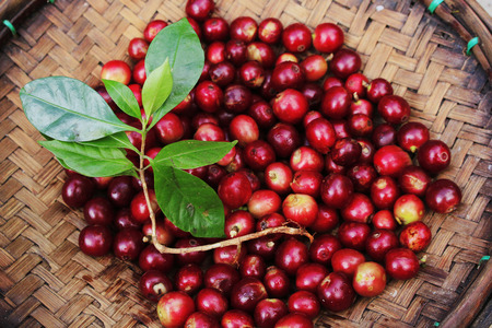 coffee harvest: Coffee beans of north thailand