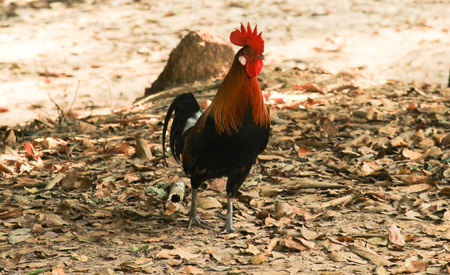 wander: chickens wander in search of food on the floor