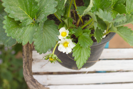 Strawberrys blossoming white potted plant.