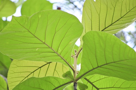 Teak leaves photo