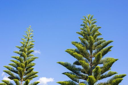 scots pine: pinus and blue sky