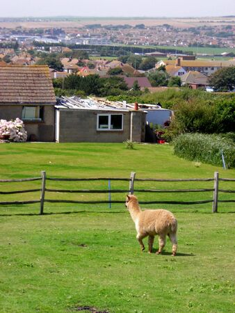 A sheep inside a yard close to Rottingdean, East Sussex, England.