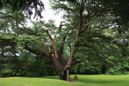 An ancient tree on the Gwydir Castle Gardens, North Wales, UK.