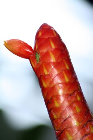 The tropical american plant Costus Scaber.