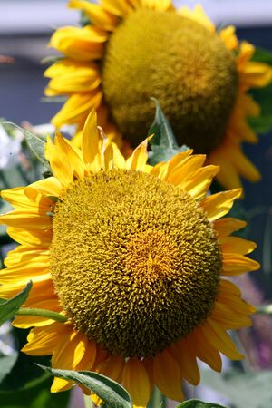giant sunflower: A giant sunflower, Helianthus annuus. The state flower of Kansas and also Ukraine. Stock Photo