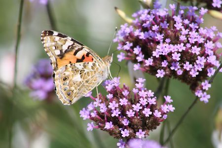 German butterfly licking a flower with its long tongue. Stock Photo