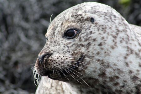 Close up of a friendly harbor seal.