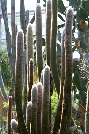 Espostoa lanata, Cactaceae family  Also know as Old Peruvian Man  Andes, South America