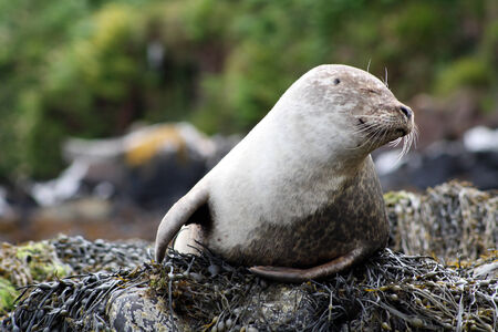 A seal with a funny fake by the North Sea, Scotland