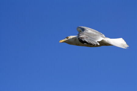 A seagull gliding over the seaside  Stock Photo