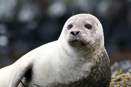 A thoughtful seal by the North Sea, Scotland