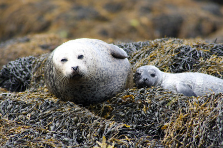A family of seals by the North Sea, Skye Island, Scotland