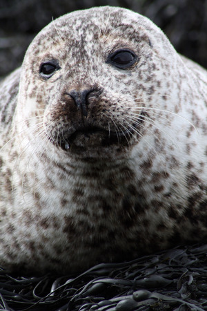 A seal resting under the sun in the North Sea, Scotland