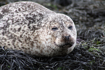 A sleepy seal under the sun by the North Sea, Scotland