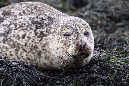 A sleepy seal under the sun by the North Sea, Scotland