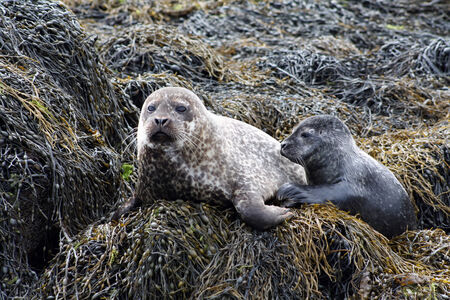 A Seal with her young seal by the North Sea, Scotland  Stock Photo