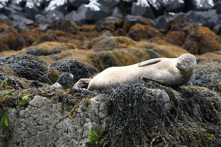 A seal and her baby seal by the North Sea, Scotland  Stock Photo