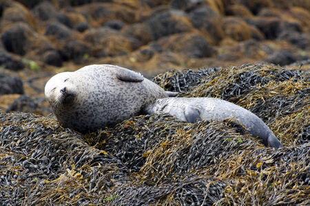 A seal feeding her young baby seal, Scotland  Stock Photo