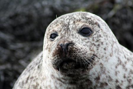 A seal alone in the North Sea, Scotland  Stock Photo