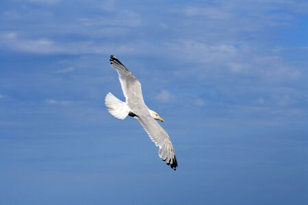 A seagull flying over the seaside  Stock Photo
