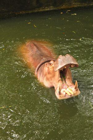 hippopotamus: hipop�tamo comer Foto de archivo