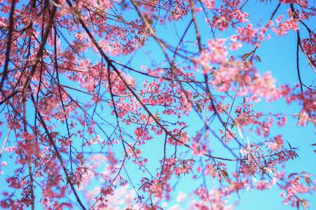 plentifully: Wild himalayan cherry blossom at Khun wang Chiang mai Stock Photo