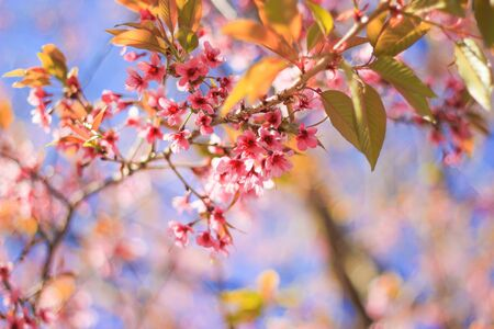 plentifully: Wild himalayan cherry blossom at Khun wang Chiang mai Stock Photo