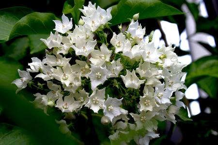 apocynaceae: Bread Flower Vallaris globra Ktze