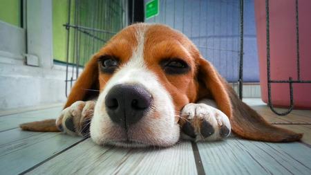 cute puppy: the cute beagle puppy dog