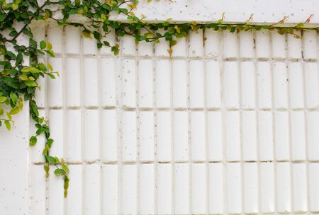 ivy wall: the Ivy tree on the White wall