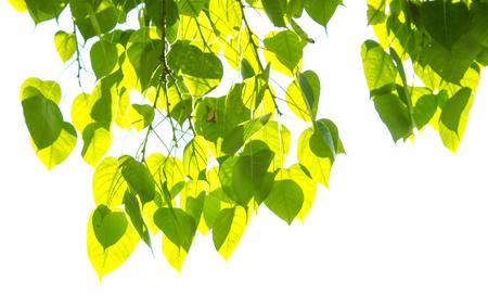 peepal: Bodhi leaf