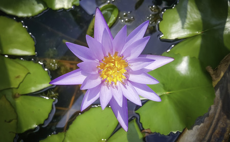limbo: Lotus flower in the pot